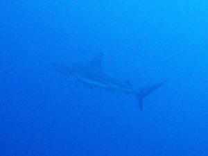 カマストガリザメ(ブラックチップシャーク)