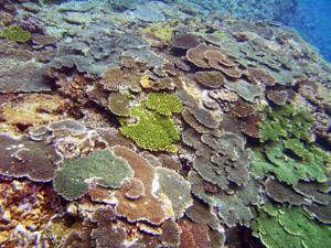 サンゴ群生