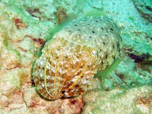 奥武島のコブシメ