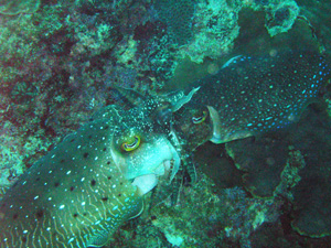 大度海岸のコブシメ(交接中)