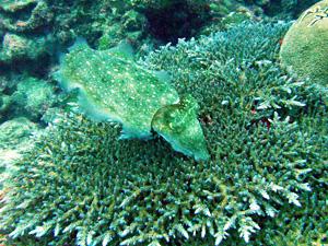 大度海岸のコブシメ(産卵中)